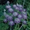 Primula capitata Noverna Deep Blue Pierwiosnek główkowaty Noverna Deep Blue