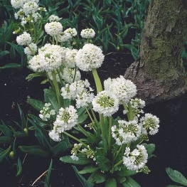 Primula denticulate Rubin Pierwiosnek ząbkowany