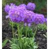Primula denticulate Lilac Pierwiosnek ząbkowany