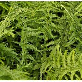 Athyrium filix-femina Victoriae Wietlica samicza
