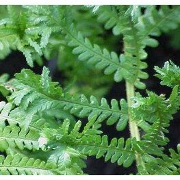 Dryopteris affinis Polydactyla Dads Narecznica mocna