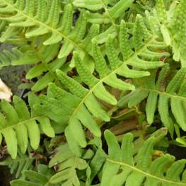 Polypodium vulgare Paprotka zwyczajna