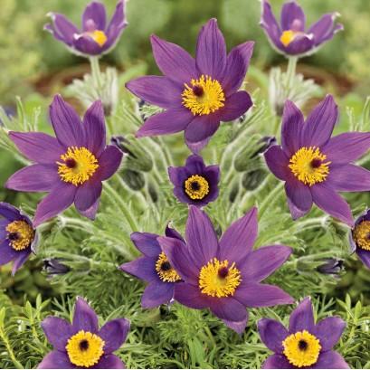 Pulsatilla vulgaris (Violet) Sasanka zwyczajna- Rośliny od Ogrodnika