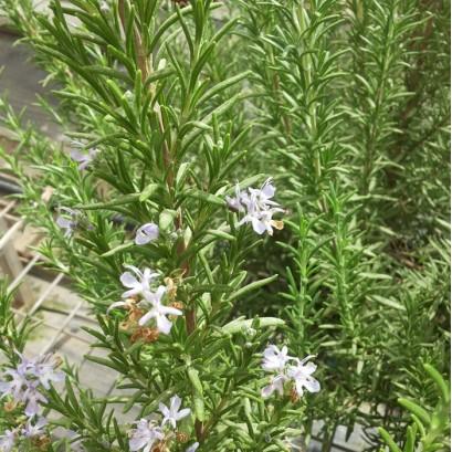 Rosmarinus officinalis Blue Rain- Rozmaryn lekarski