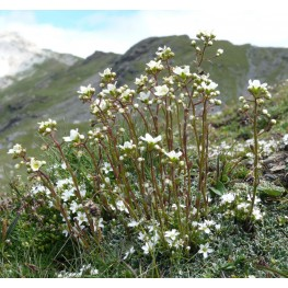 Saxifraga paniculata Skalnica gronkowa