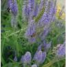 Veronica longifolia Przetacznik długolistny