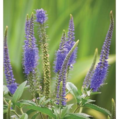 Veronica spicata Blue Bouquet Przetacznik kłosowy