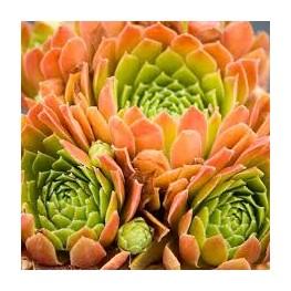Sempervivum Gloriosum