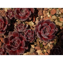 Sempervivum Granada