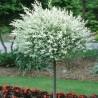 Salix Integra Hakuro Nishiki Wierzba Całolistna