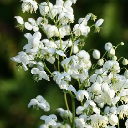 Thalictrum Splendide White Rutewka