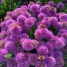 Allium Millenium Czosnek