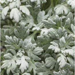 Artemisia stellariana Bylica