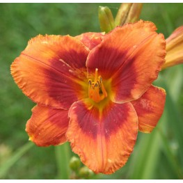 Hemerocallis Frank Smith Liliowiec