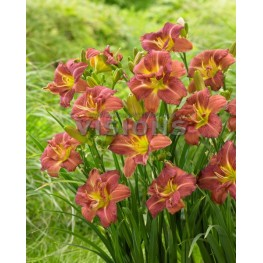 Hemerocallis Raspberry Double Liliowiec