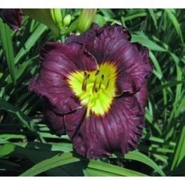 Hemerocallis Paint it Black Liliowiec
