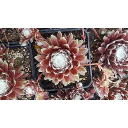 Sempervivum Roter Cristall