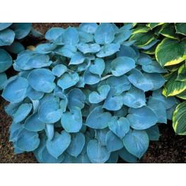 Hosta Hadspen Blue Funkia