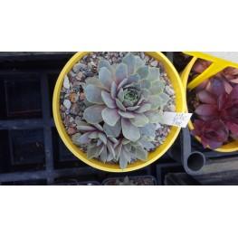 Sempervivum Lilac Time Rojnik