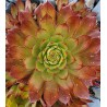 Sempervivum Orange Glow ( foto A. Specht)