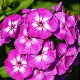 Phlox paniculata Purple Eye Floks