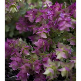 Origanum rotundifolium Bellissimo Lebiodka