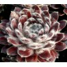 Sempervivum Pacific Feather Power Rojnik