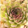 Sempervivum Pacific Red Rose Rojnik
