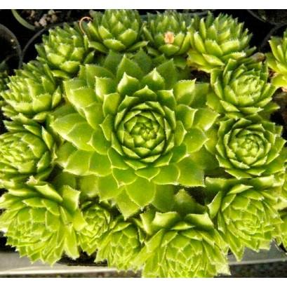 Sempervivum Pacific Green Fleurs