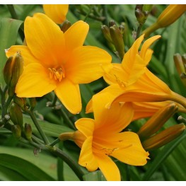 Hemerocallis Thumbellina liliowiec