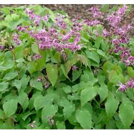 Epimedium grandiflorum Lilafee Epimedium
