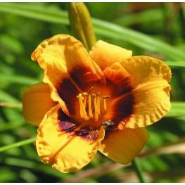 Hemerocallis Siloam Tiny Mite Liliowiec