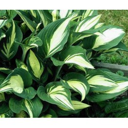 Hosta Touch of Flame Funkia