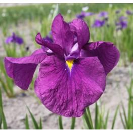 Iris ensata Ruby King Kosaciec