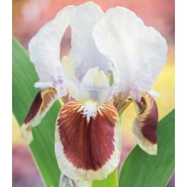 Iris pumila Cherry Spot Kosaciec