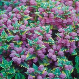 Lamium maculatum Golden Anniversary Jasnota