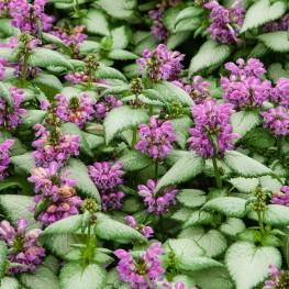 Lamium maculatum Purple Dragon Jasnota