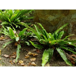 Phyllitis scolopendrium Undulata Języcznik