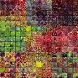 Sempervivum rojnik kolorowy zestaw 100 szt