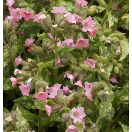 Pulmonaria Pink Haze Miodunka