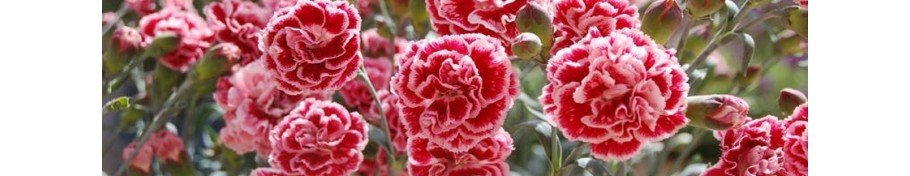 Dianthus gożdzik