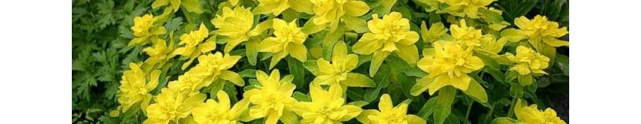Euphorbia wilczomlecz