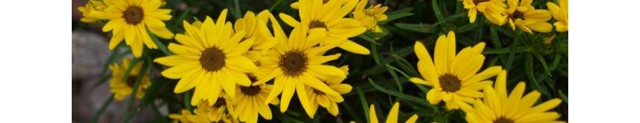 Helianthus słonecznik
