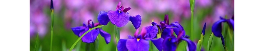 Iris kosaciec