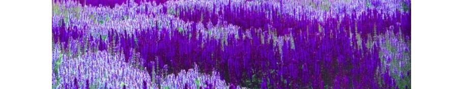Salvia szałwia