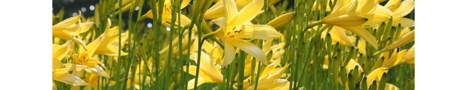 Hemerocallis liliowiec