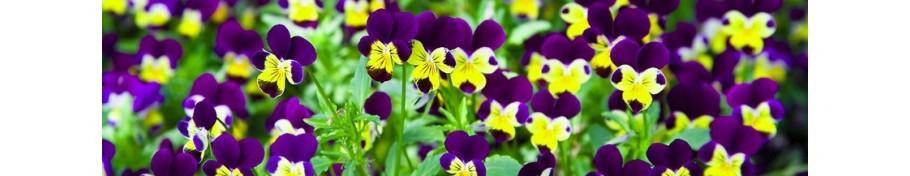 Viola fiołek