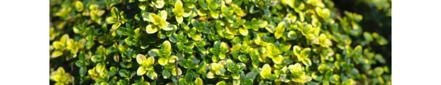 Thymus macierzanka
