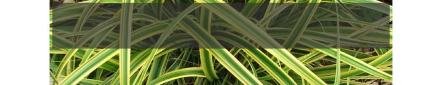 Carex Turzyca