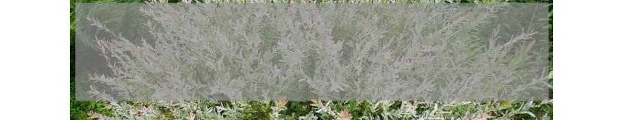 Salix Wierzba